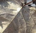 7-32-am-leaf-11-22-15-s
